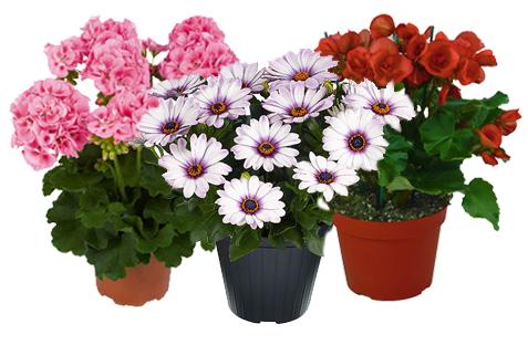 Floricoltura Magnani primavera di piante fiorite in vaso