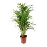Areca-Chrysalidocarpus-17