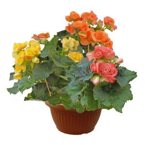 Begonia-Elatior-ciotola25