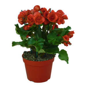 Begonia-Elatior-vaso14