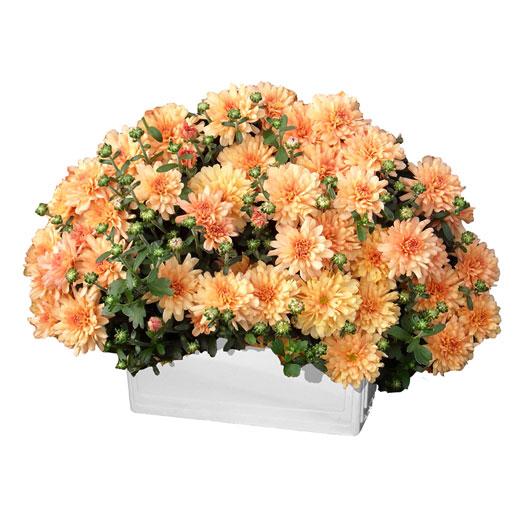 Crisantemo-vaschetta