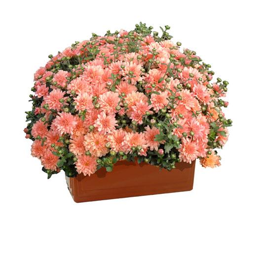Crisantemo-vaschetta40