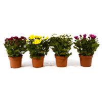 Crisantemo-vaso14