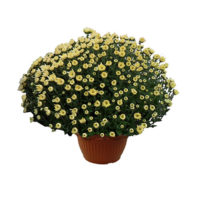 Crisantemo-vaso16
