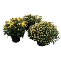 Crisantemo-vaso20