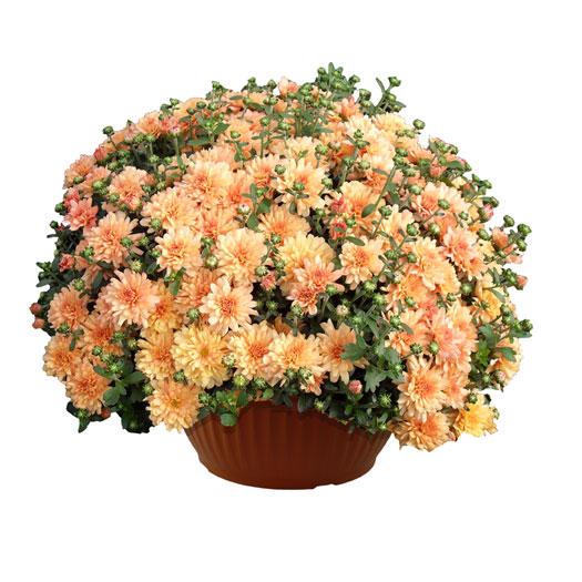 Crisantemo-vaso25-30
