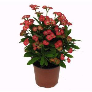 Euphorbia-Milii-12