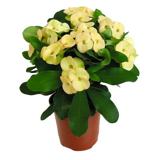 Euphorbia-Milii-14