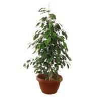 Ficus-Benjamin-vaso17