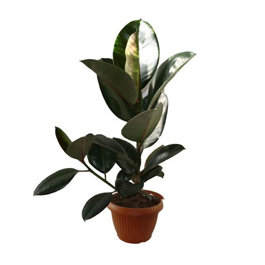 Ficus-robusta-vaso17