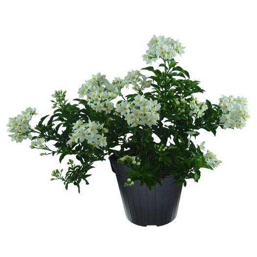Salanum-jasminoides-vaso14