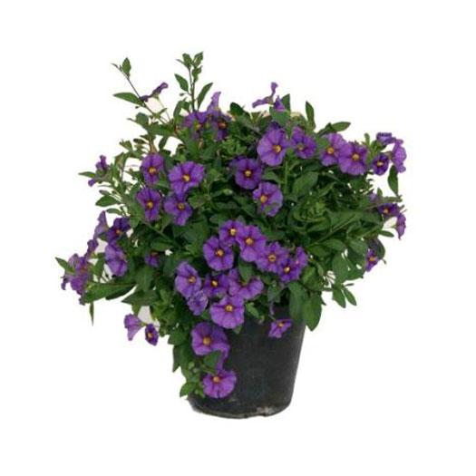 Salanum rantonetti piante fiorite in vaso