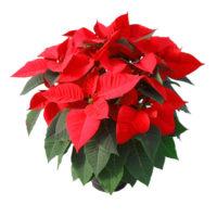 Stella-di-Natale-vaso17