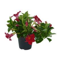 Sundeville pianta fiorita in vaso 15