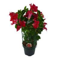 Sundeville pianta fiorita in vaso 14