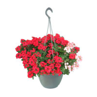 Verbena-mix-basket