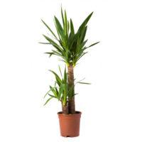 Yucca piante verdi