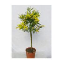 mimosa-vaso20