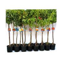 pianta-da-frutto-vaso20