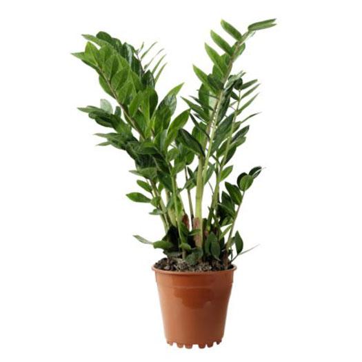 Zamioculcas Zamifolia piante verdi